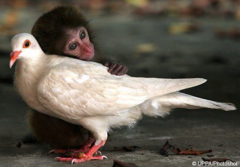 Baby Macaque and White Pigeon Make Friends. via primatology.net